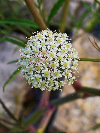 water hemlock flower head