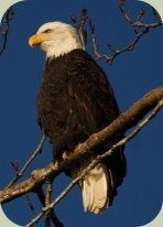 winter birding bald eagle