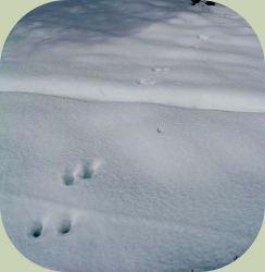 Deer pronking trail