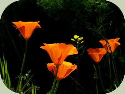 Forest Food Web Poppies