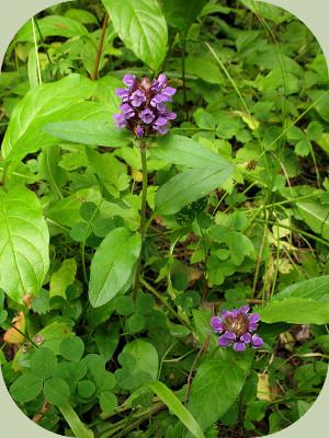 Fukuoka farming companion plants