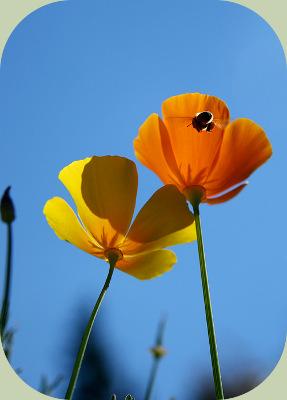 Fukuoka farming poppies