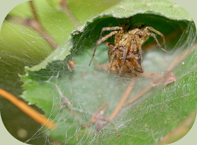 Funnel web spider eating mate