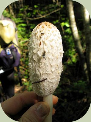 Shaggy mane mushroom