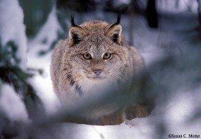 Susan Morse lynx