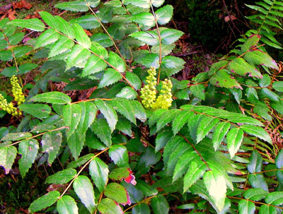 oregon grape in flower
