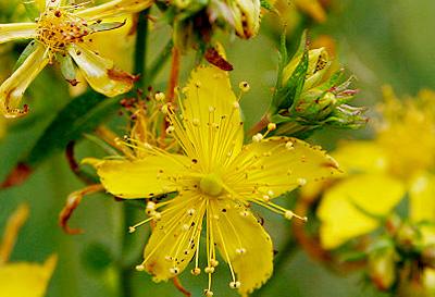 St. John's wort in flower