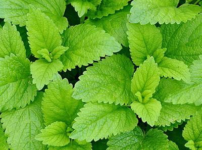 lemon balm a well known antiviral herb