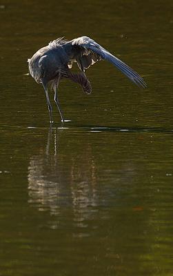 reddish egret preening
