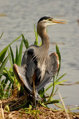 great blue heron thermoregulating