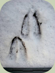 blacktldeer front and hind tracks