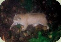 bobcat tracking photo
