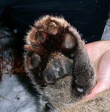Cougar front foot