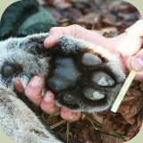 cougar foot