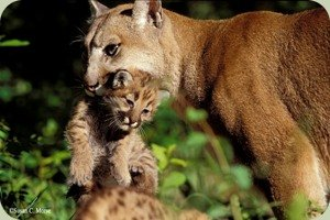 Susan Morse cougar
