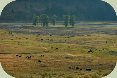 coyote habitat yellowstone prairie