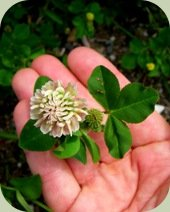 edible weeds clover