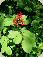 elderberry plants berries