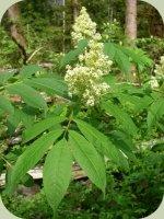 elderberry plants flowers