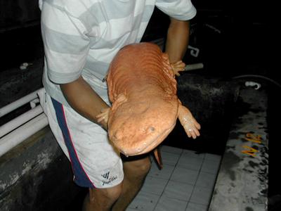 a chinese giant salamander