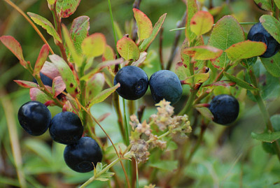 mature blueberry fruits