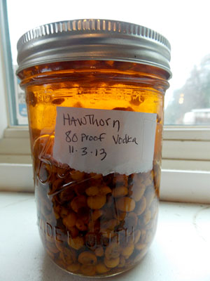 hawthorn infusing in alcohol for tincture