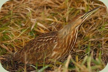 identify wild birds bittern