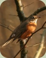 identifying backyard birds american robin
