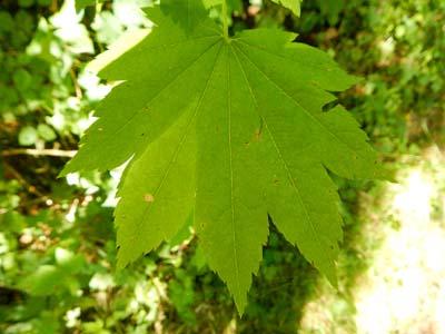 vine maple leaf