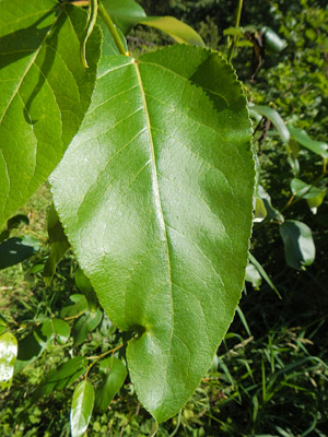 black cottonwood leaf