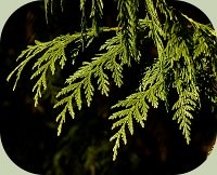 herbal cold remedy - western red cedar