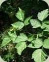 temperate rainforest plants salmonberry