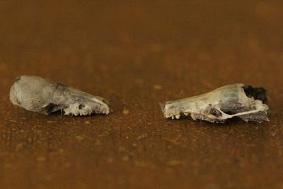 Skull Identification