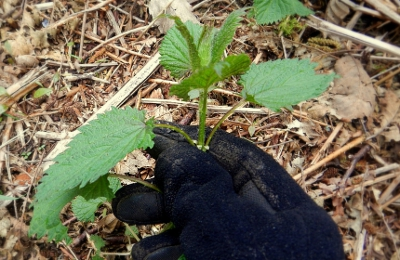 picking stinging nettle for tea with gloves