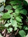 temperate rainforest plants stinging nettle