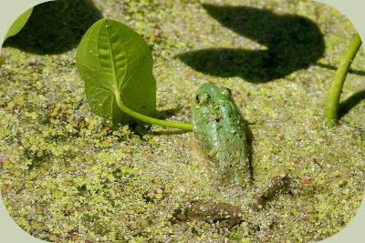 wapato bullfrog