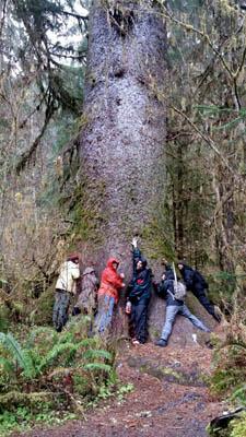 Worldest largest Sitka spruce