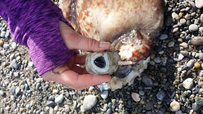 octopus beak
