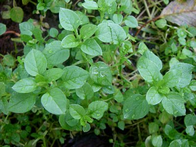 chickweed prior to flowering
