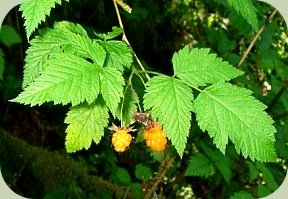 wild edible plants salmonberry