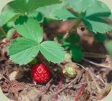 wild strawberry plants